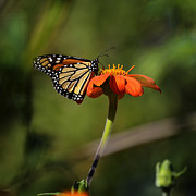 Xueling Zou - A Monarch Butterfly 1