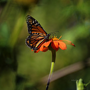 Xueling Zou - A Monarch Butterfly 2