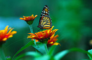 Raymond Salani Iii Photo Prints - A Monarch Print by Raymond Salani III
