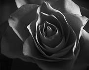Anton Ishmurzin - A Monochrome Rose