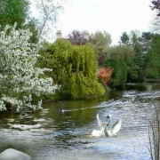Swans... Mixed Media - A Morning in Spring by Morag Bates