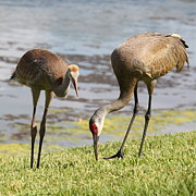 Sandhill Crane Framed Prints - A Mothers Lesson Framed Print by Carol Groenen