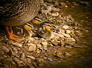 Baby Ducks Posters - A Mothers Love Poster by Robert Frederick