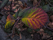 Chris Berry -  Multi Colored Leaves