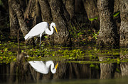 Water Bird Photos - A narcissistic Great Egret  by Ellie Teramoto