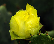 Yellow Cactus Flower Photos - A New Beginning by Bill Morgenstern