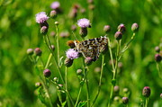 Thistles Photos - A Painted Lady by Jeff  Swan