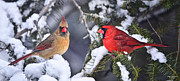 Male Cardinals In Snow Posters - A Pair of Cardinals Talking Poster by Peg Runyan