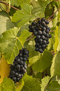 Grape Vineyards Prints - A Pair of Clusters Print by Jean Noren