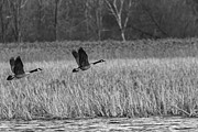 Canadian Marsh Prints - A Pair of Geese Leaving the Marsh in Black and White Print by Thomas Young
