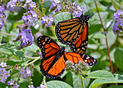 Susan Wiedmann Metal Prints - A Pair of Monarch Butterflies Metal Print by Susan Wiedmann