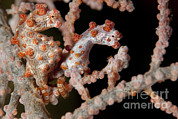Whips Framed Prints - A Pair Of Pygmy Seahorse On Sea Fan Framed Print by Steve Jones