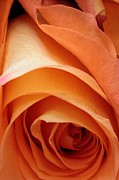 Roses Photo Prints - A Pareo Rose Print by Joe Kozlowski
