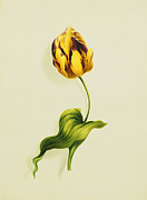 Tulip Paintings - A Parrot Tulip by James Holland