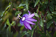 Passion Flower Photos - A Passion for Flowers DB by Rich Franco