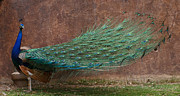 A Peacock Print by Ernie Echols
