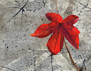 Sandi Oreilly Art - A Perfect Fall Red by Sandi OReilly