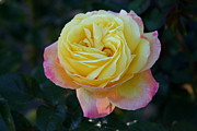 Paula Tohline Calhoun - A Perfect Rose
