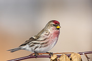 Perky Prints - A Perky Redpoll Print by Tim Grams