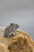 Denali National Park Photos - A Pika with a View  by Tim Grams