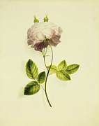 Biology Metal Prints - A Pink Rose Metal Print by James Holland