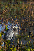 Evening Framed Prints - A portrait of a Great Blue Heron Framed Print by Ellie Teramoto