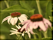 Cone Flowers Posters - A Presentation Of Cone Flowers Poster by Thomas Young