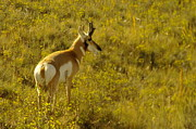 Pronghorn Photos - A Pronghorn In Wyoming by Jeff  Swan