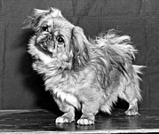 Pekingese Framed Prints - A Quizzical Pekingese Framed Print by Underwood Archives