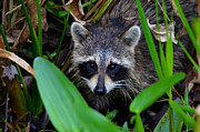 Bird Rookery Swamp Posters - A Raccoon breakfast Poster by Jeffrey Hamilton