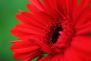 HJBH Photography - A red gerbera
