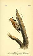 Audubon Drawings Posters - A Red Moustached Woodpecker Poster by John James Audubon