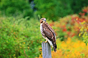 Red Tail Hawk Photographs Posters - A Red Tailed Hawk Poster by Michael Allen