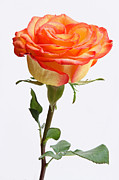 Sensitive Prints - A rose is a rose is a rose Print by Juergen Roth