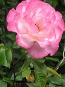 Melissa McCrann - A Rose Is Just A Rose