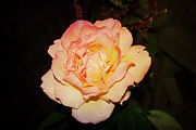 Judy Hall-folde Art - A Rose by Judy Hall-Folde