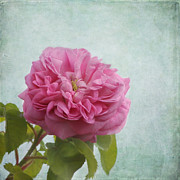 Soft Pink Metal Prints - A Rose Metal Print by Kim Hojnacki