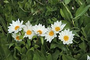 Michele Penner - A Row of White Wyethia