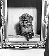 Saluki Framed Prints - A Saluki at the Golden Gate Kennel Club Show Framed Print by Underwood Archives