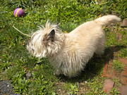 Cairn Terrier Photos - A Scruffy Cairn Terrier by Robert Wingate