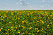 Matt Dobson - A Sea of Sunflowers