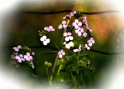 Phlox Digital Art - A Secret Place vignette by Steve Harrington