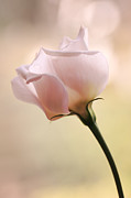 HJBH Photography - A single beautiful pink flower