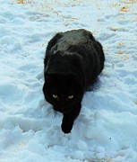 Black Cat Photos Photos - A small Panther in the Snow by Cheryl Poland