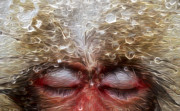 Primates Prints - A Snow Monkey Dreams Print by Jack Zulli