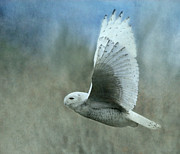 Snowy Owl Framed Prints - A Snowy Flight Framed Print by Angie Vogel