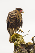 Falcon Prints - A Southern Caracara Print by Tim Grams