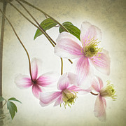 Clematis Framed Prints - A sprinkling of pink Framed Print by Constance Fein Harding