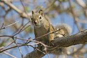 Critter Photos - A Squirrel In A Tree Edmonton Alberta by Jim Julien