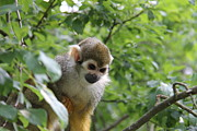 Harald Ole Hansen - A Squirrel Monkey...
